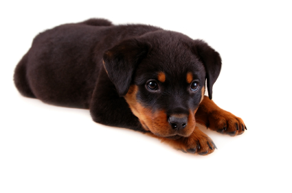 Training A Rottweiler Puppy